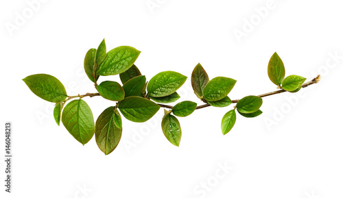 Fresh green leaves on branch Fototapeta