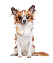Sitting Long Haired Chihuahua ...