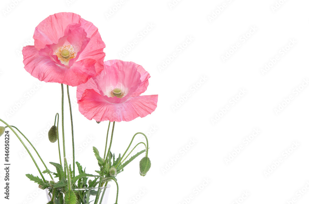 pink poppies  isolated on white background
