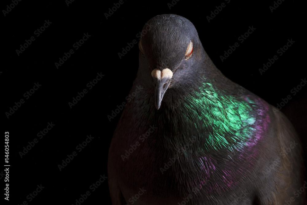look sleepy bird on black background