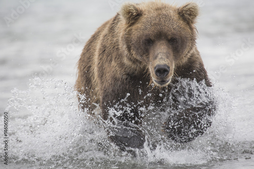 Kamchatka brown bear moving through water, Kurile Lake, Kamchatka Peninsula, Rus Canvas Print