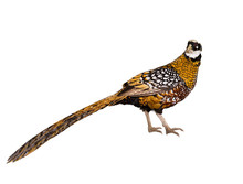 Royal Pheasant