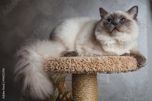 gatto in posa su trespolo Fototapeta