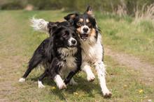 Zwei Hunde Rennen Und Spielen - Border Collie