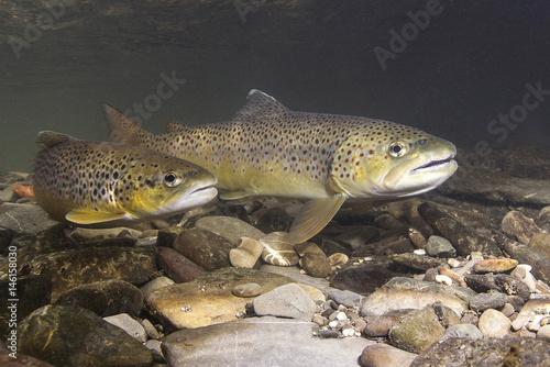 Fotografie, Obraz Brown trout (Salmo trutta) preparing for spawning in small creek