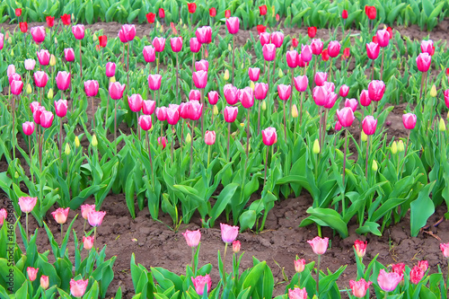 Photo  Beautiful tulips in the spring garden