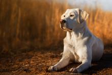 Schöner Labrador Retriever Hund Welpe Liegt Vor Einem Kornfeld In Der Sonne