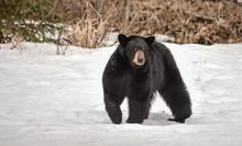 Black Bear In A Snow Field