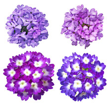 Verbena Flower Set