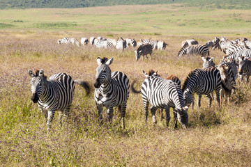 Fototapeta na wymiar Zebra and foal grazing in Ngorongoro Conservation Area, Tanzania.