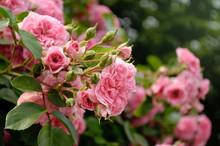 Climbing Pink Rose In The Garden