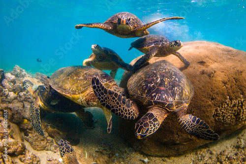 Poster Tortue Endangered Hawaiian Green Sea Turtle cruising in the warm waters of the Pacific Ocean in Hawaii