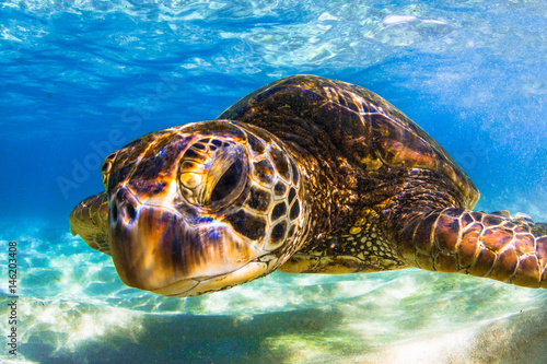 Canvas Prints Under water Endangered Hawaiian Green Sea Turtle cruising in the warm waters of the Pacific Ocean in Hawaii