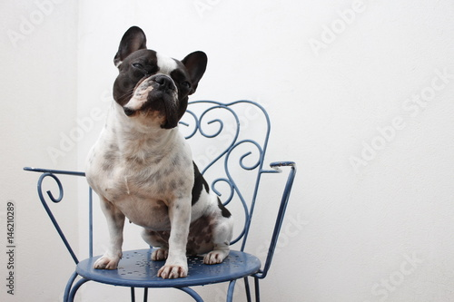 Foto op Plexiglas Franse bulldog Sentada BF