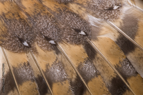 Poster Owl Plumage of barn owl