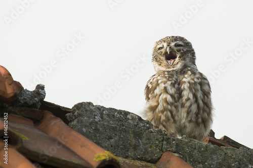 Printed kitchen splashbacks Owl yawning little owl on a barn