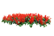Red Flower Bush Tree Isolated ...