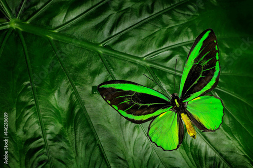 Fotografie, Obraz  Beautiful green and black butterfly