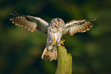 Owl Fly In The Green Forest. Flying Eurasian Tawny Owl, Strix Aluco, With Nice Green Blurred Forest In The Background. Wildlife Scene In Nature Habitat. Animal Behaviour, Sweden, Europe. Bird Landing.