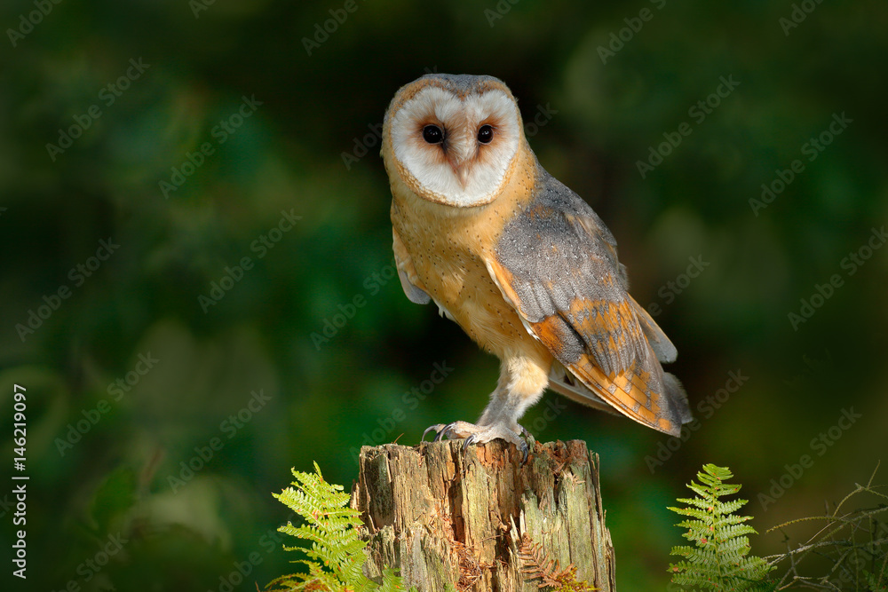 Owl in the dark forest. Barn owl, Tito alba, nice bird sitting on stone fence in forest cemetery with green fern, nice blurred light green the background, animal in the habitat, United Kingdom
