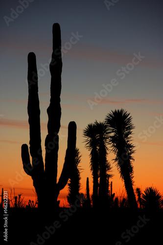 Papiers peints Cactus Desert Sunset with Silhouettes of Cactus in the Sonoran Desert, Baja California Norte, Mexico