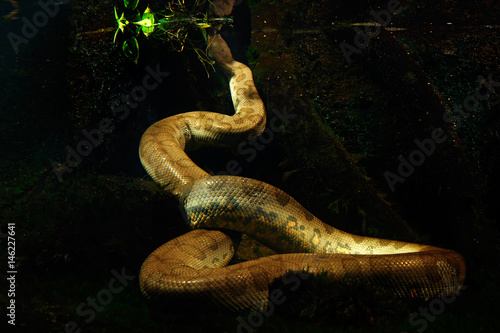 Green anaconda in the dark water, underwater photography, big snake in the natur Canvas Print