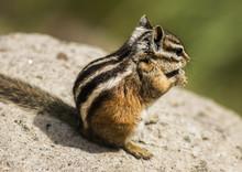 Foraging Chipmunk On A Rock