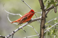 Summer Tanager Perched In A Tr...