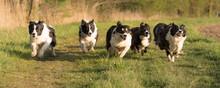 Hund Rennen - Rudel Border Collies