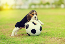 Cute Young Beagle Playing Foot...