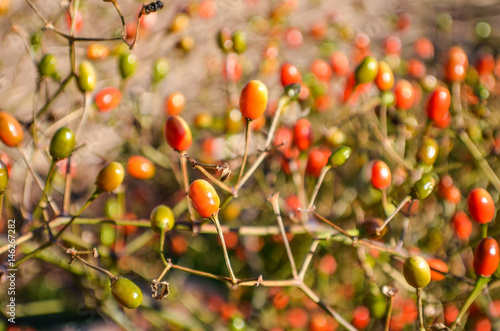Macro closeup of bittersweet nightshade berries that are orange, green and red Canvas Print