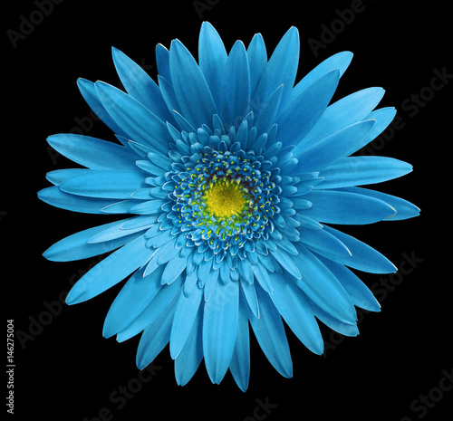 Turquoise gerbera flower on black isolated background with clipping path. Closeup. no shadows. For design. Nature.