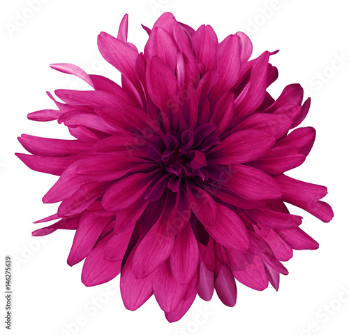 Staande foto Roze Dahlia crimson flower white background isolated with clipping path. Closeup. with no shadows. Nature.