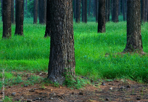 Fotografie, Obraz  Loblolly Pine Forest