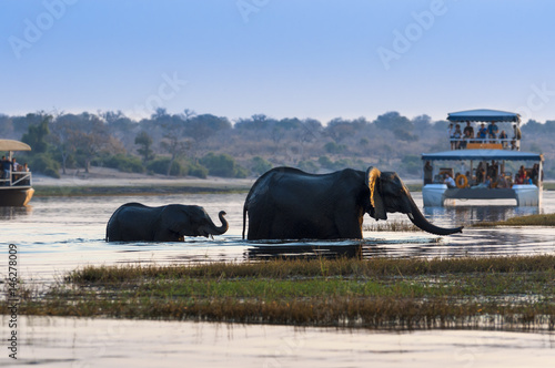 Cuadros en Lienzo  Female African Elephant and its cub crossing the Chobe River in the Chobe Nation