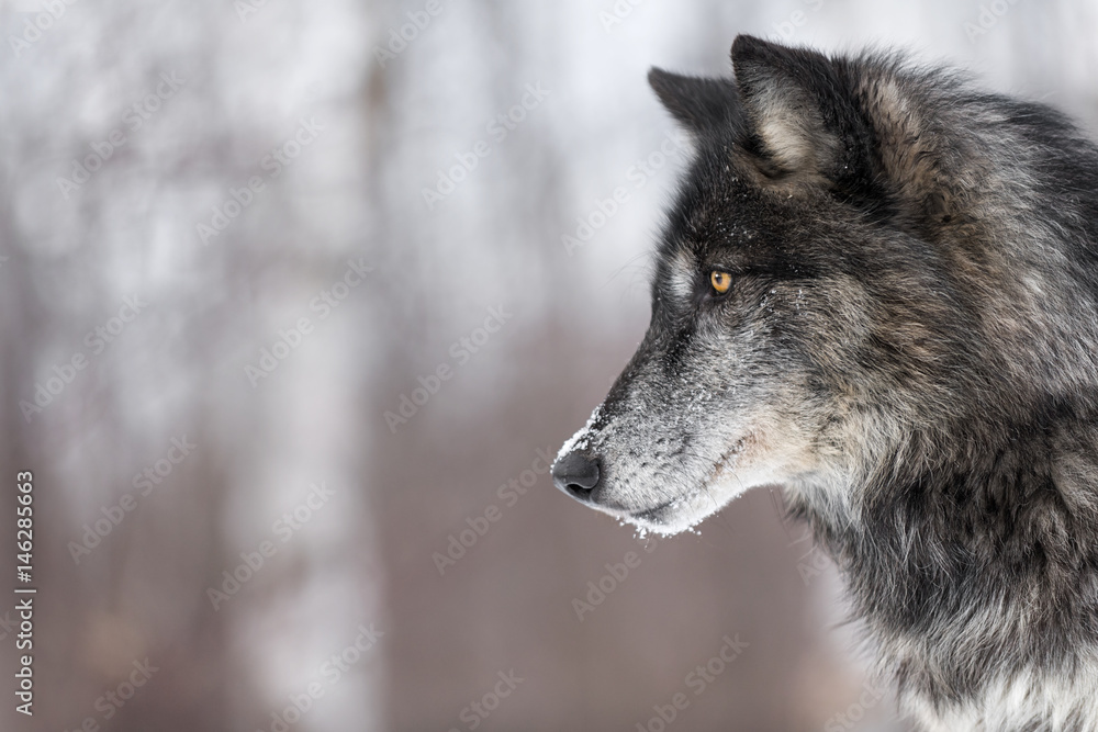 Black Phase Grey Wolf (Canis lupus) Profile Copy Space