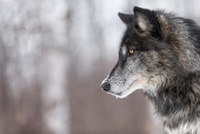 Black Phase Grey Wolf (Canis L...