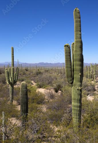 Papiers peints Cactus Saguaro National Park in Arizona