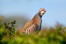 Red-legged Partridge, Alectoris Rufa Or French Partridge In Spring Against Blue Sky