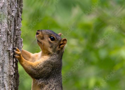 Zdjęcie XXL Wiewiórka na drzewie