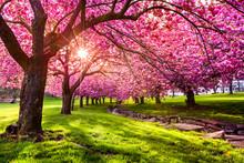 Cherry Tree Blossom Explosion ...