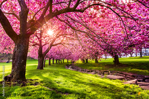 Photographie Cherry tree blossom explosion in Hurd Park, Dover, New Jersey (search file # 169