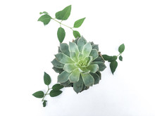 Succulent Abstract In Center Over White