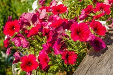 Red Petunia Flowers Blooming I...