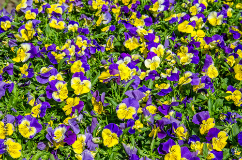 Papiers peints Pansies Purple and yellow pansy flowers blooming in Old Town of Lijiang,Yunnan.