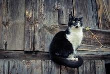Black White Cat On Wooden Background