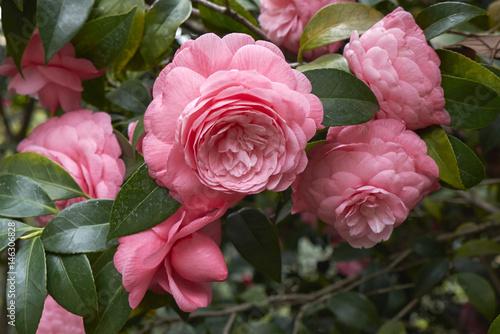 Zdjęcie XXL Kamelia japonica z różowymi kwiatami