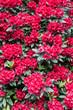 Field of Red Azaleas
