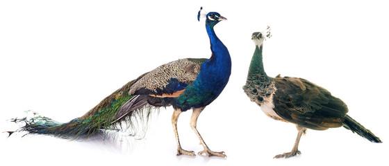 peacock in studio