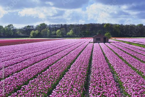 Foto auf Gartenposter Tulpen flowerbulbs